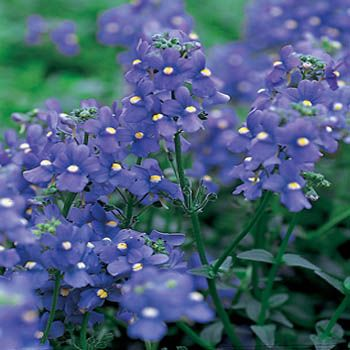 Nemesia Seeds Nemesia Strumosa Blue Gem Flower Seed Annual Flowers Flower Seeds Flowers