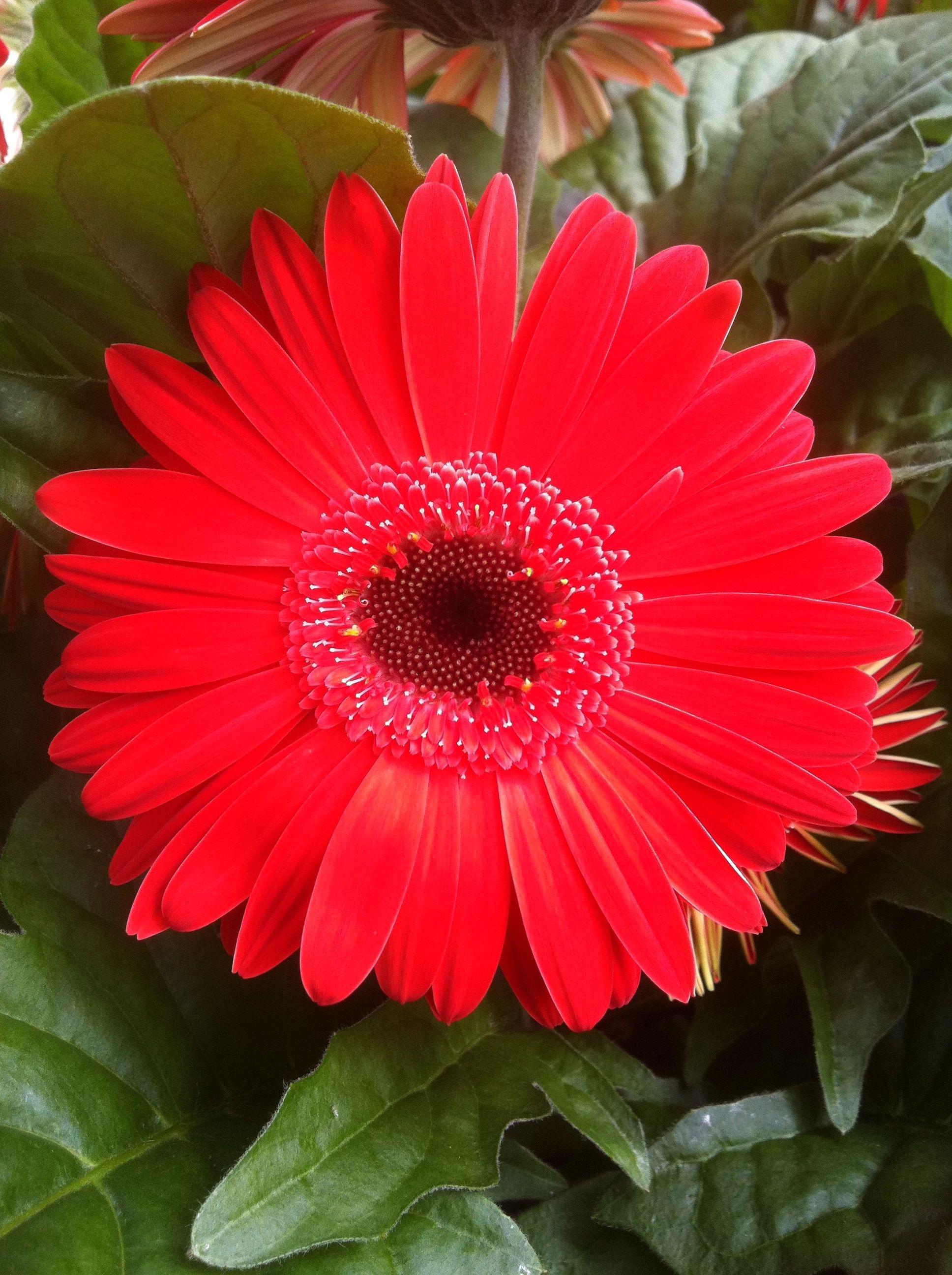 Pin By Klepac Greenhouses Inc On Gerbera Daisies Daisy Art Flower Wallpaper Sunflower Art