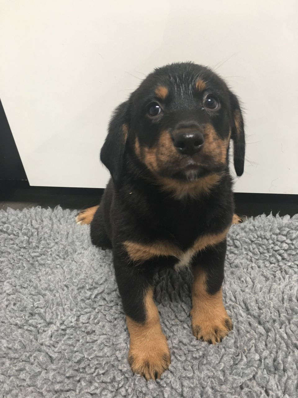 Labernese Cross Fluffy Puppies Dog Breeds Puppies