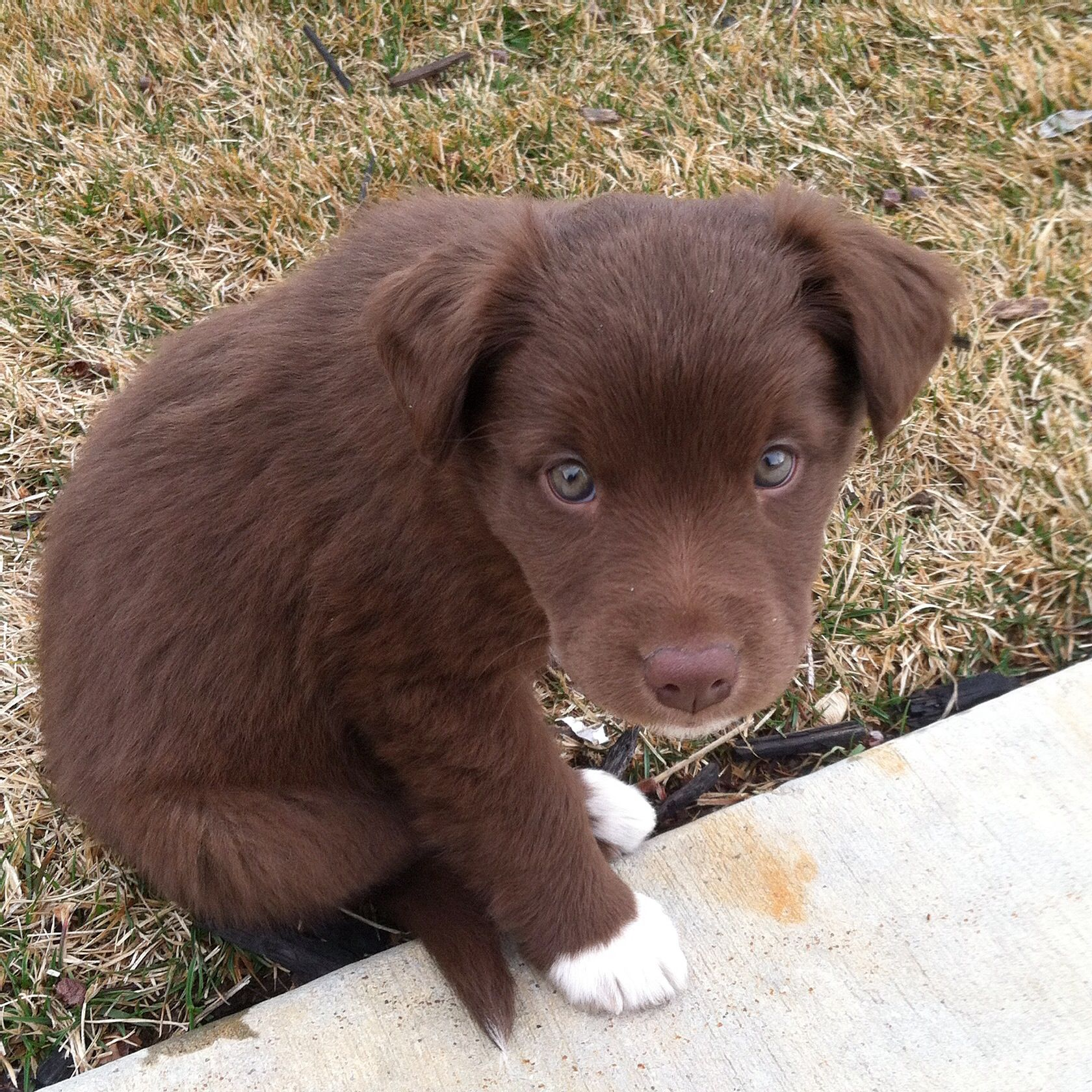 Pin By Anna Rae On Too Cute Puppy Mix Chocolate Lab Puppies Collie Puppies