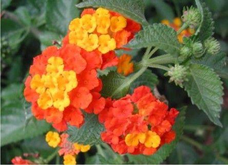 Nombre Popular Bandera Española Nombre Científico O Familia Lantana Cámara Características Color Rosado Con Amarillo Rojo Lantana Native Plants Plants