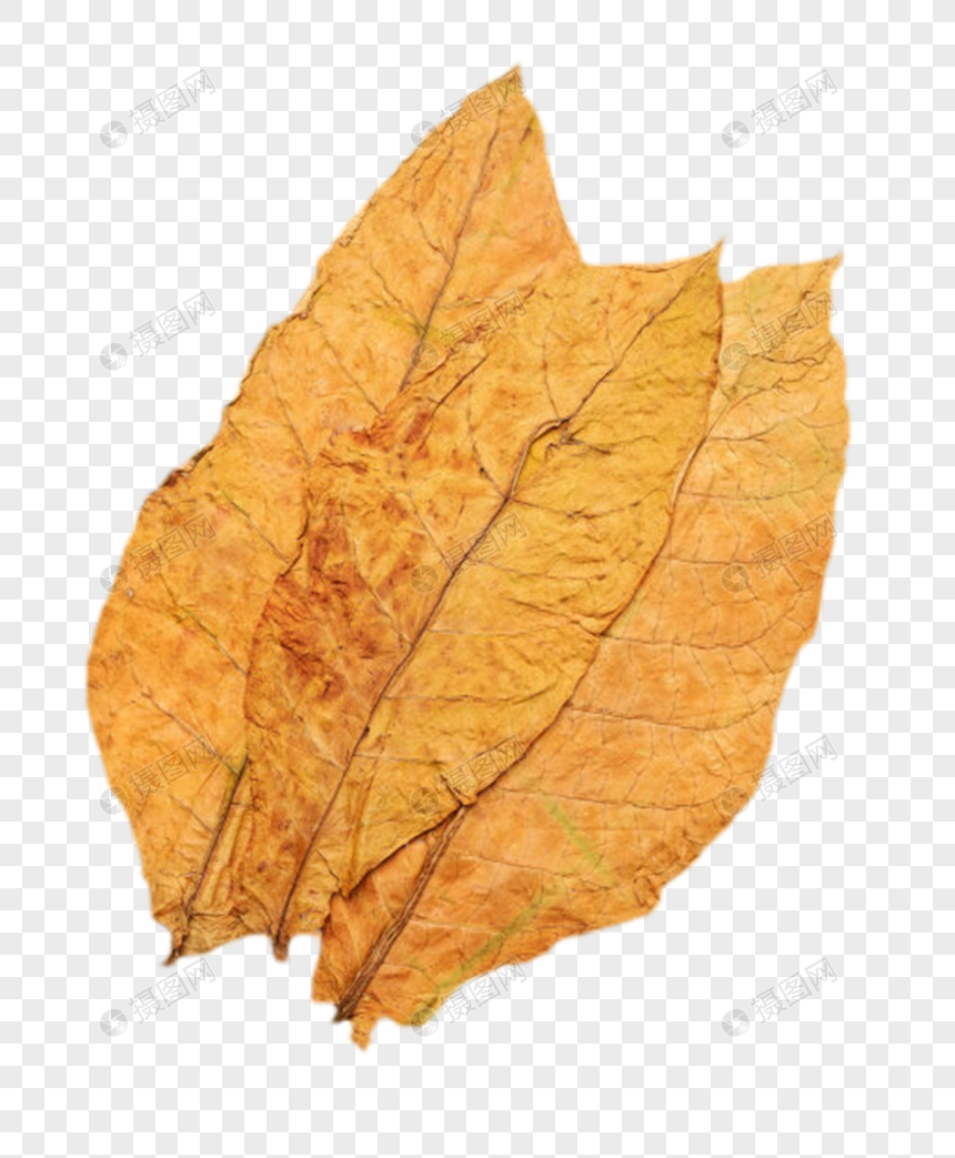 Dried Tobacco Leaf With Dry Drape Folds Cascading Plants Herbs Leaves Tobacco Raw Materials Solanaceae Dried Drie Tobacco Leaf Dry Leaf Template Design