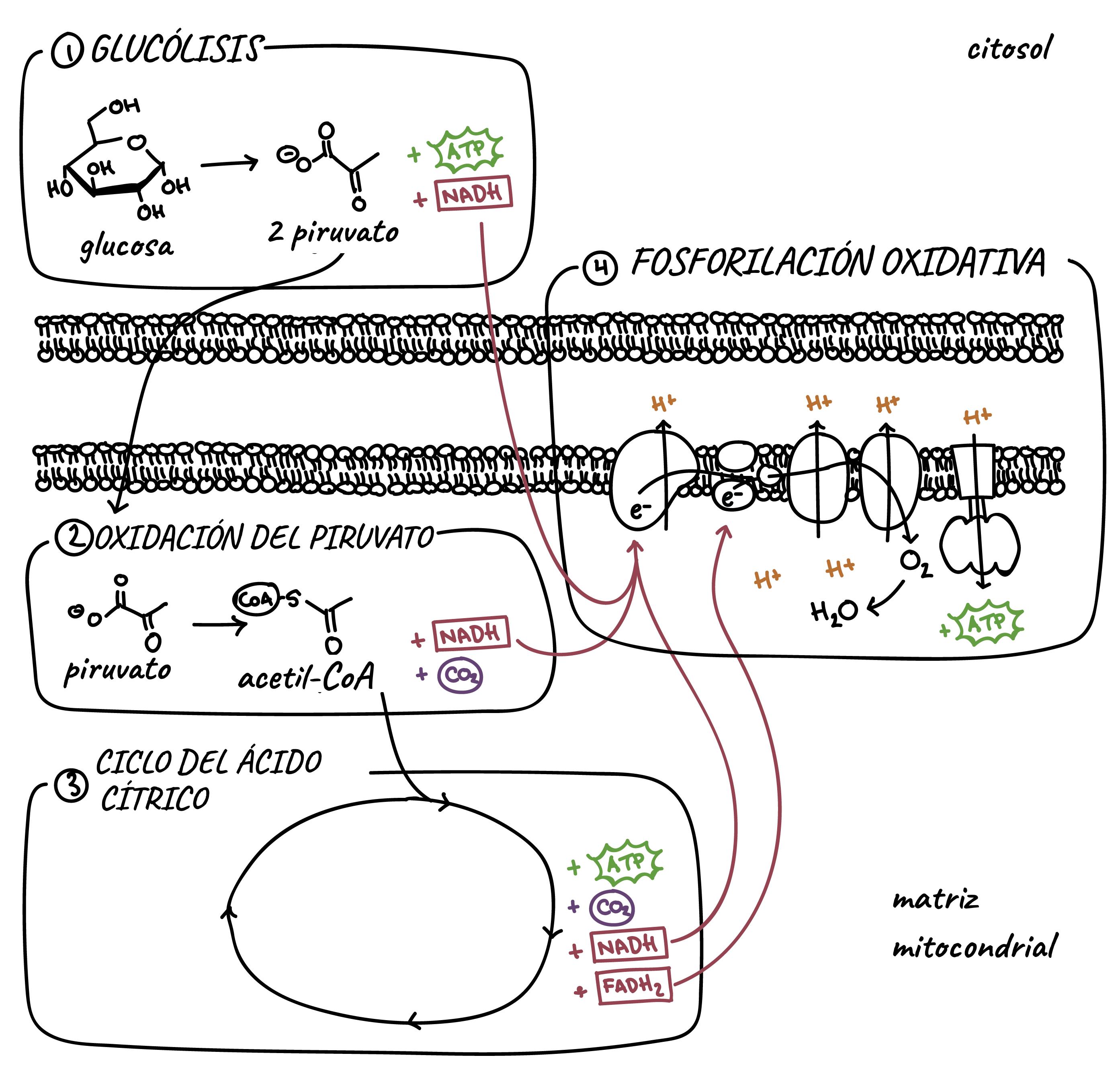 Resultado de imagen para etapas de la respiracion celular