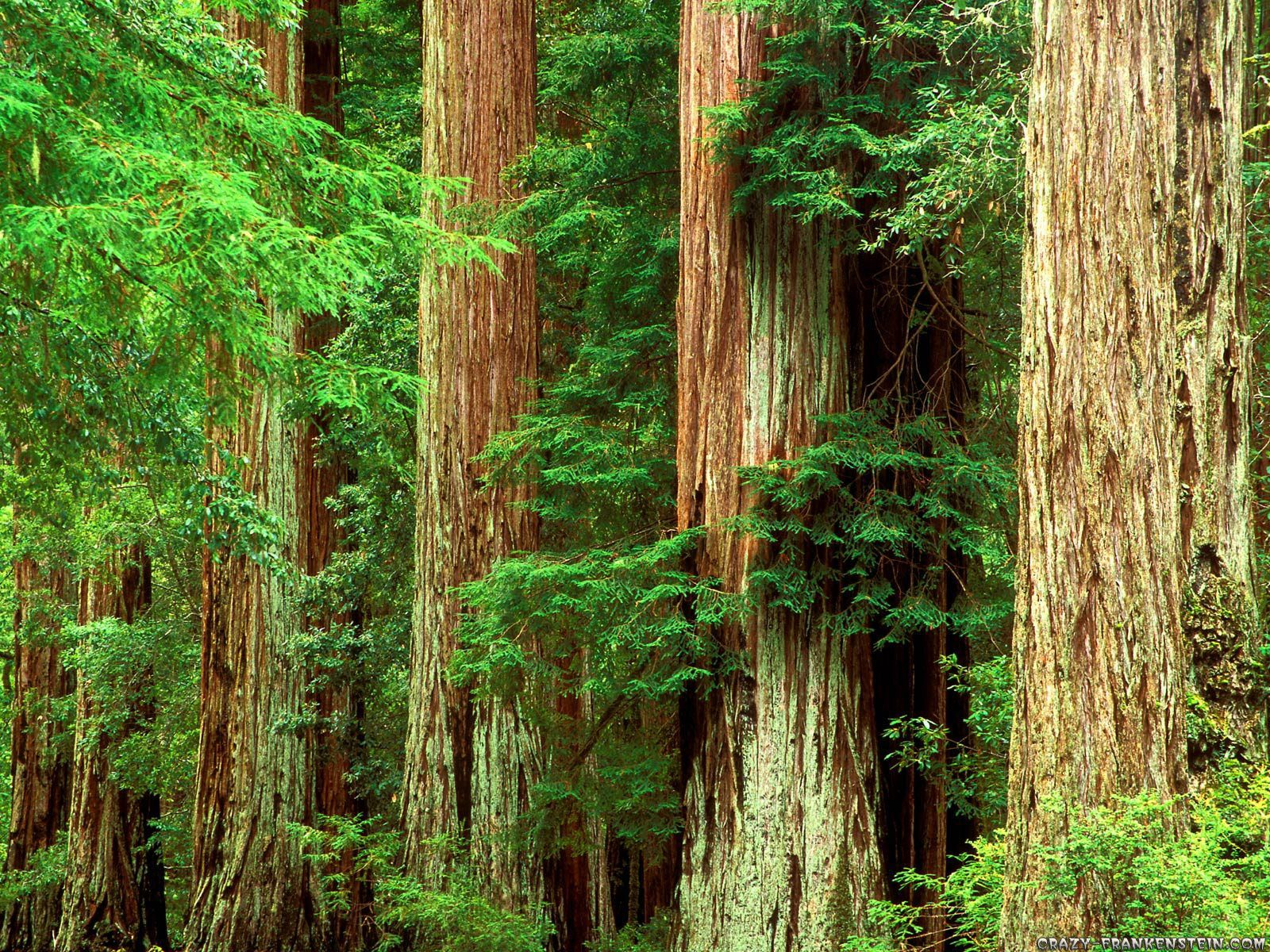 Redwood Forest Beauty Places Big Basin Redwoods Redwood National And State Parks Redwood Tree