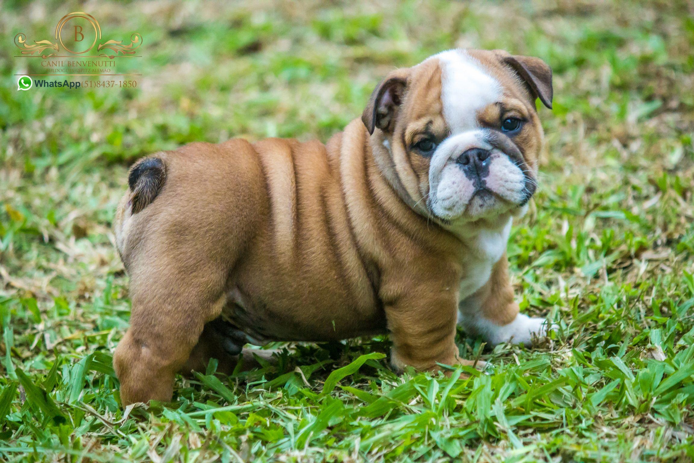 Bulldog Image By Zoran Franicevic On English Bulldogs Bulldog