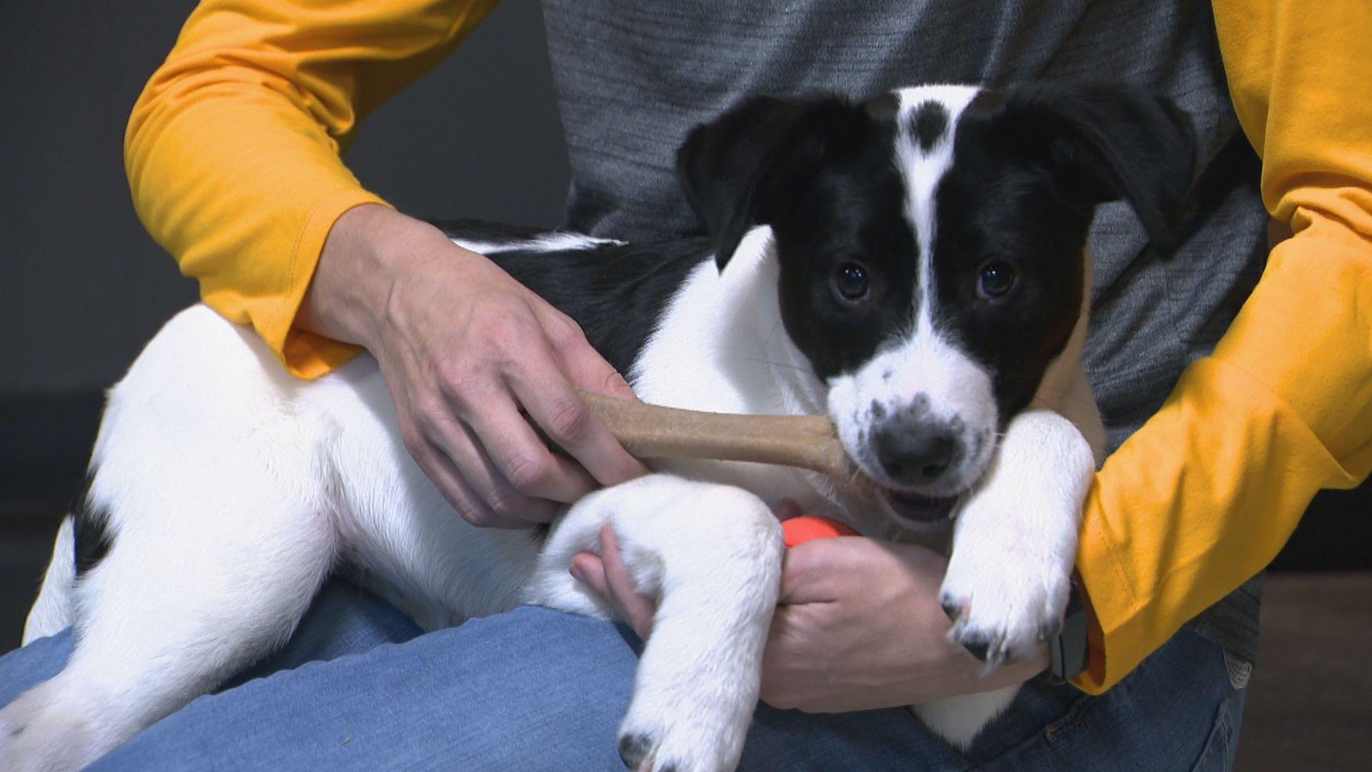 Predators' team puppy, 'Smash,' visits NewsChannel 5