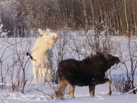 These animals were photographed just north of the Wisconsin border on a highway near Marenisco , MI .    Once in awhile there is an opportunity to take in a piece of nature that you may never see. The odds of seeing an albino moose are astronomical and to see this in the upper peninsula of Michigan , near Wisconsin , is even greater than astronomical.