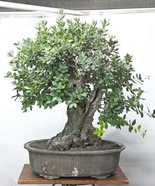 Quercus Ilex Bonsai