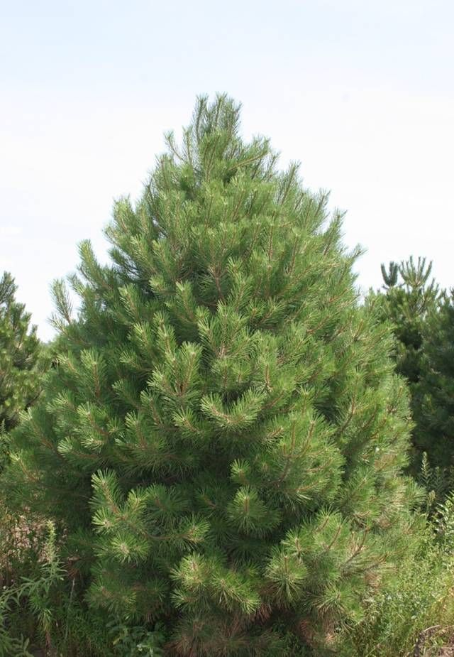 evergreen tree with long needles