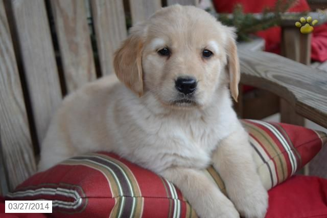 Golden Retriever Puppy For Sale In Ohio Golden Retriever