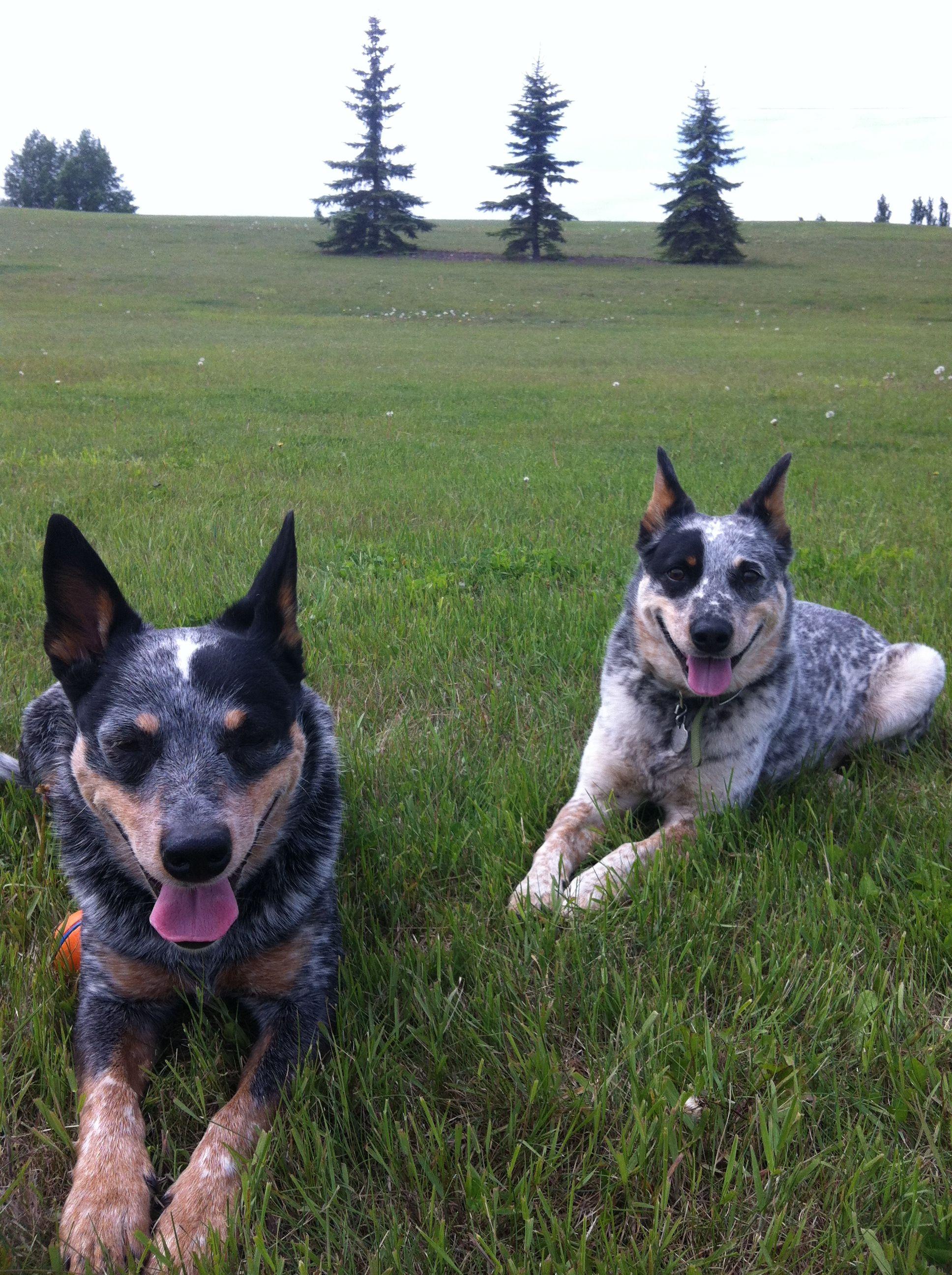 Blue Heelers Australian cattle dog, Pet dogs, Beautiful dogs