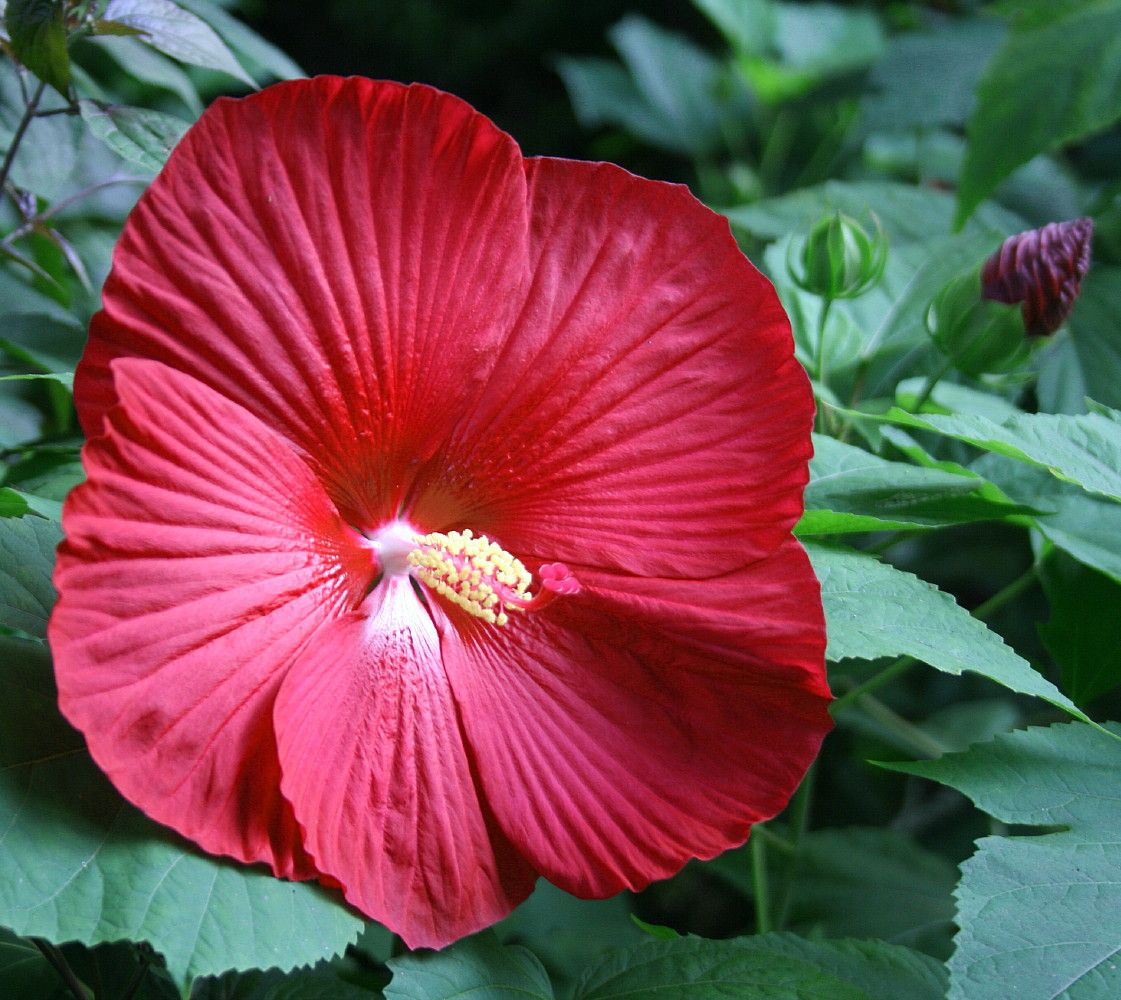 Cinnamon Grappa Giant Hibiscus Rose Mallow Perennial Huge Flowers