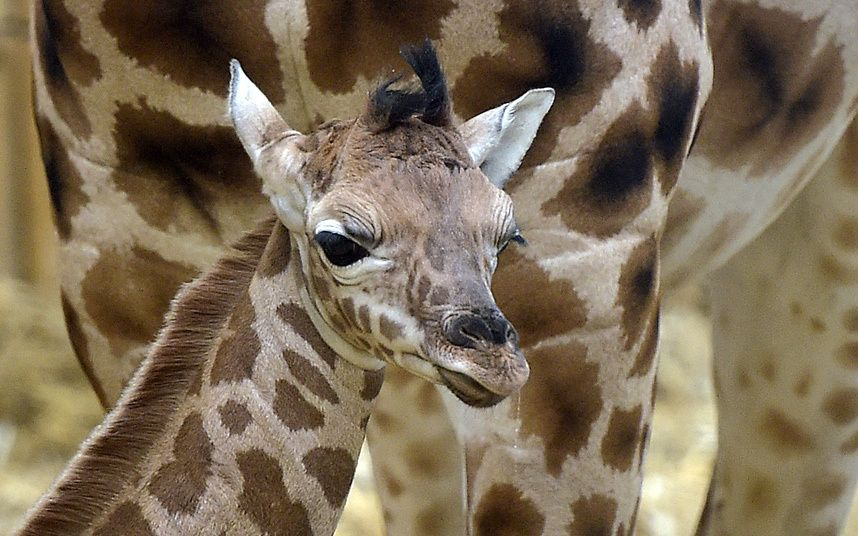 A little baby giraffe, born last Thursday, stands in front of its mother at the zoo in Gelsenkirchen, Germany
