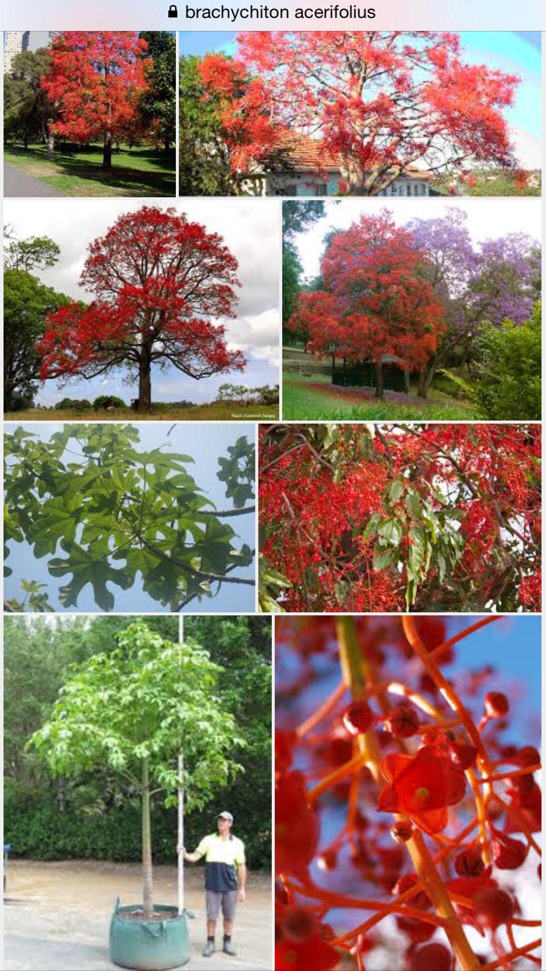 Brachychiton Acerifolius Illawarra Flame Tree Australian Flowers African Plants Deciduous Trees