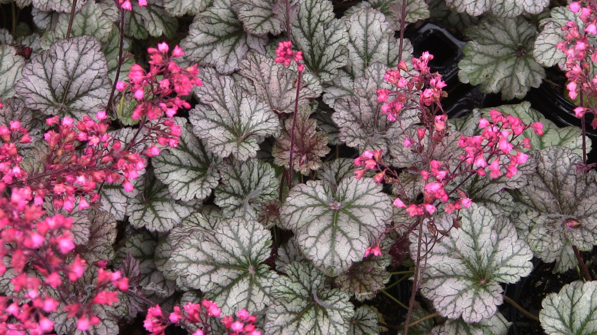Coral Bells Rave On Heuchera X Hybrida Heuchera Part Shade Plants Shade Plants