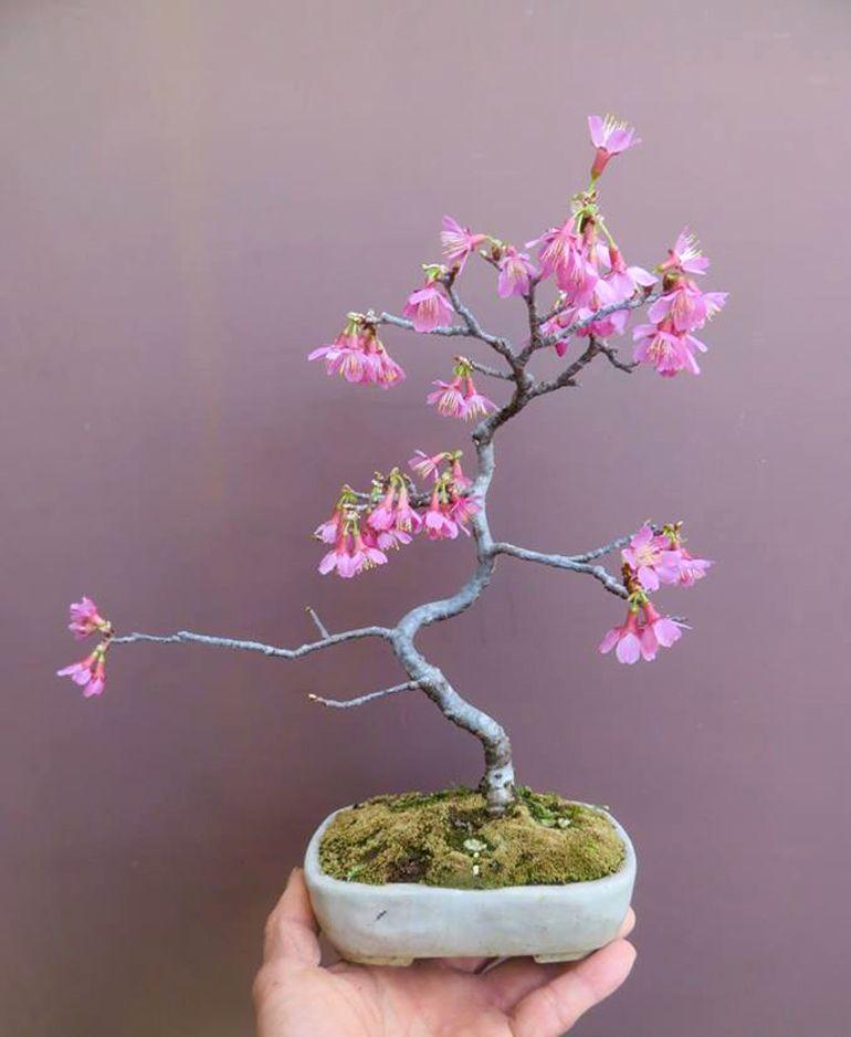 Cherry Tree Okame Blossom Garden Cherry Blossom Tree Japanese Garden