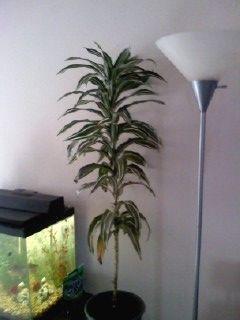 House Plants: Identification Please, Aggie Horticulture, Corn Plants