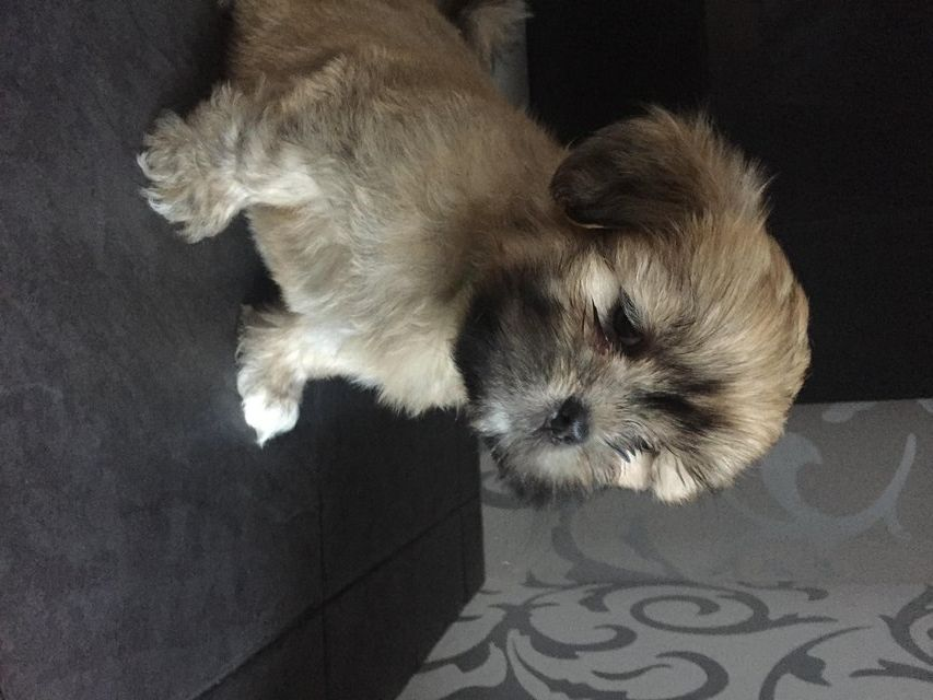5 Gorgeous Lhasa Apso Boys For Sale In Salford Manchester