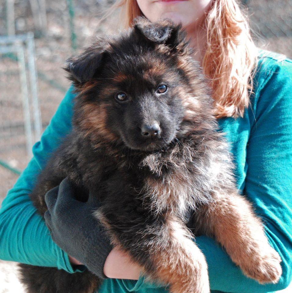 9 week old long coat german shepherd female puppy at