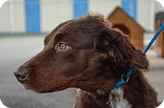 Bryan Tx English Springer Spaniel Border Collie Mix Meet Stella A Dog For English Springer Spaniel Kitten Adoption Springer Spaniel