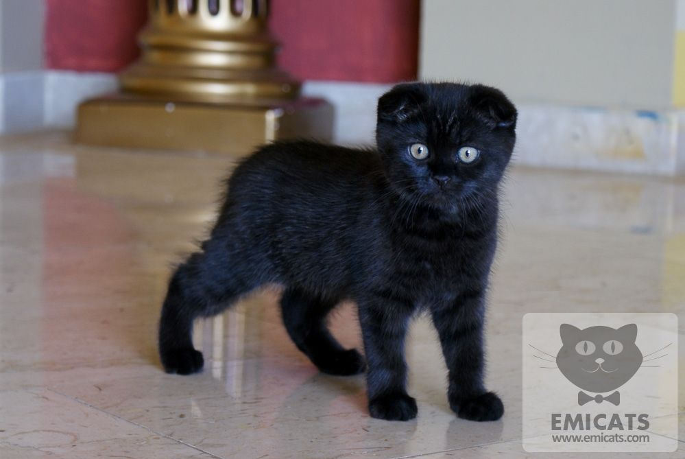 Black Scottish Fold Cats Black Scottish Fold Kittens For Sale Grey Scottish Fold Kittens Cat Scottish Fold Scottish Fold Kittens Scottish Fold