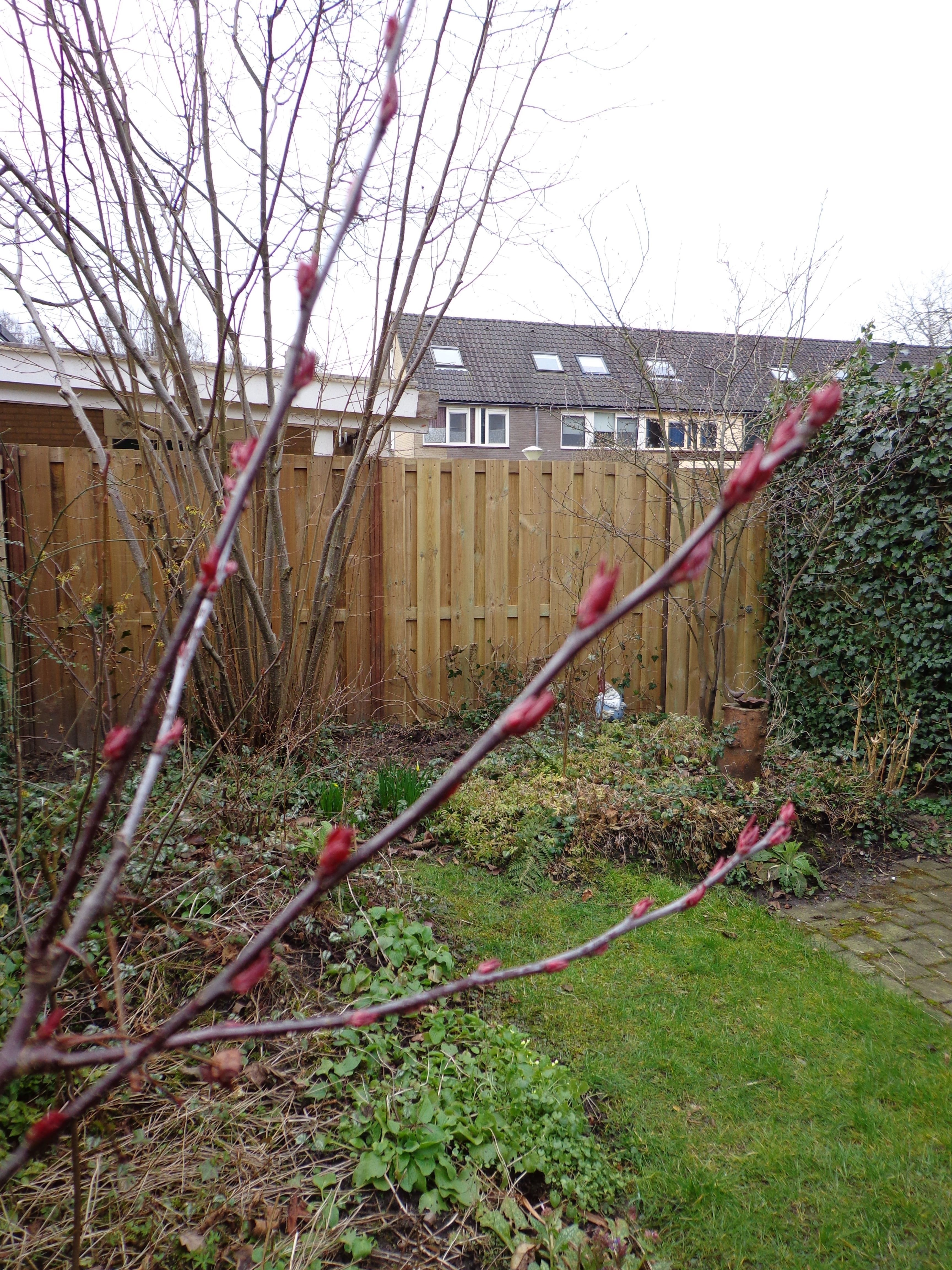 March 9th - Buds on the crabapple (Malus 'Liset')