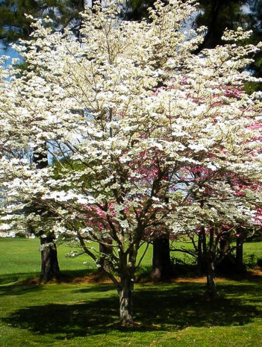 Buy Dogwood Trees Dogwood Trees For Sale The Tree