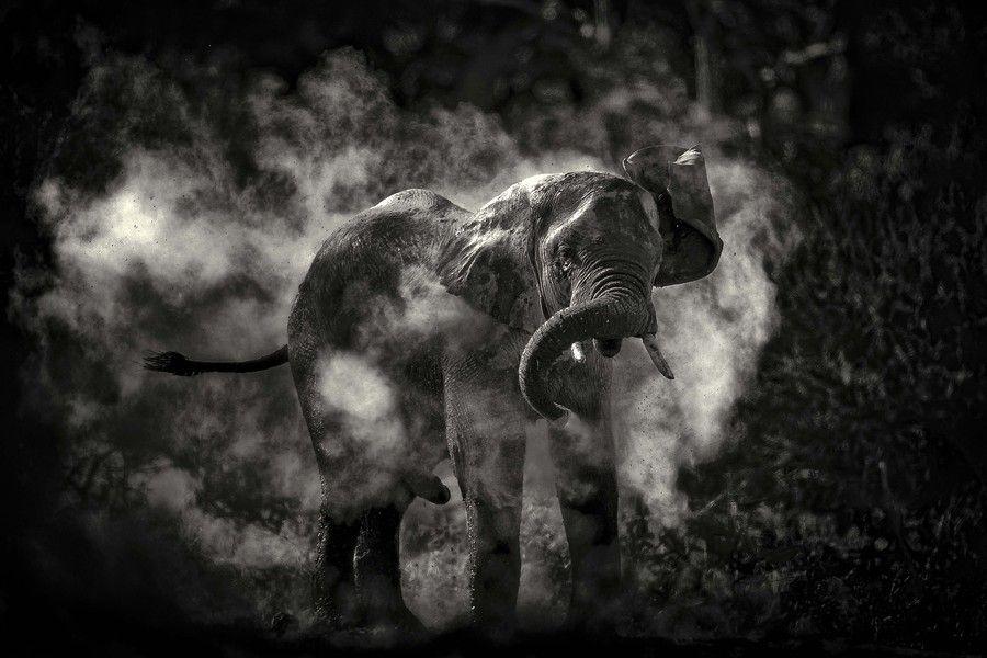 Morning Dust Bath in Bostwana by Chris Fischer on 500px  #elephants #elefantes #africa