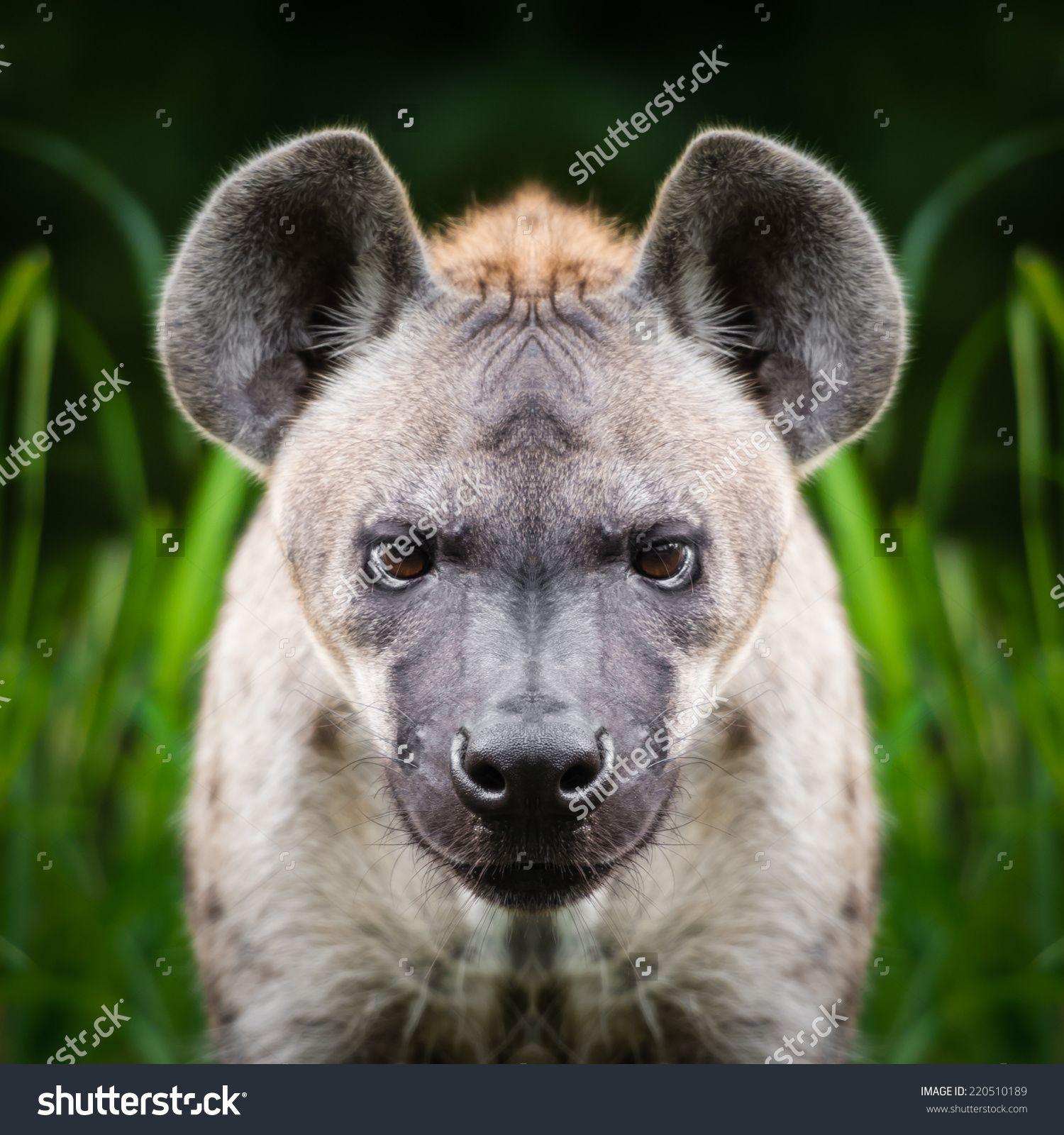 Hyena Face Close Up Stock Photo 220510189 : Shutterstock | Hyenas ...