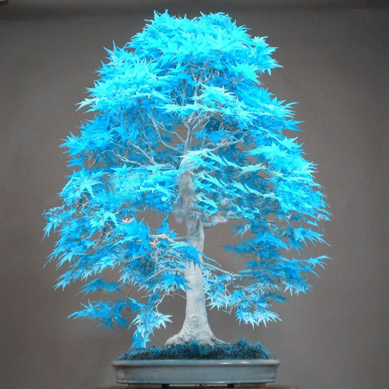 10 seltene blaue Maple Maple Seeds Seeds Bonsai Pflanzen Garten Terrasse Dekor-#