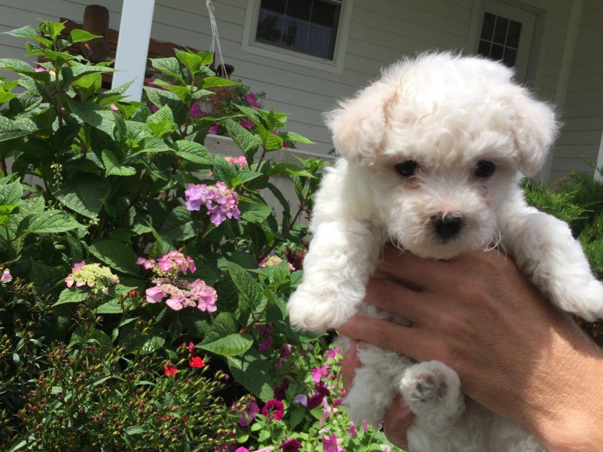 Brittney Female Akc Bichon Frise Puppy For Sale In Edon Ohio Bichon Frise Puppies Puppies For Sale