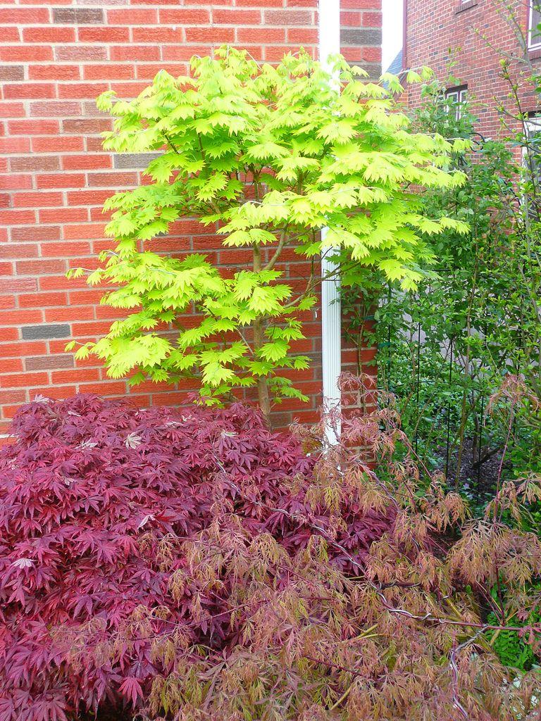 Acer Shirasawanum Aureum Golden Full Moon Japanese Maple