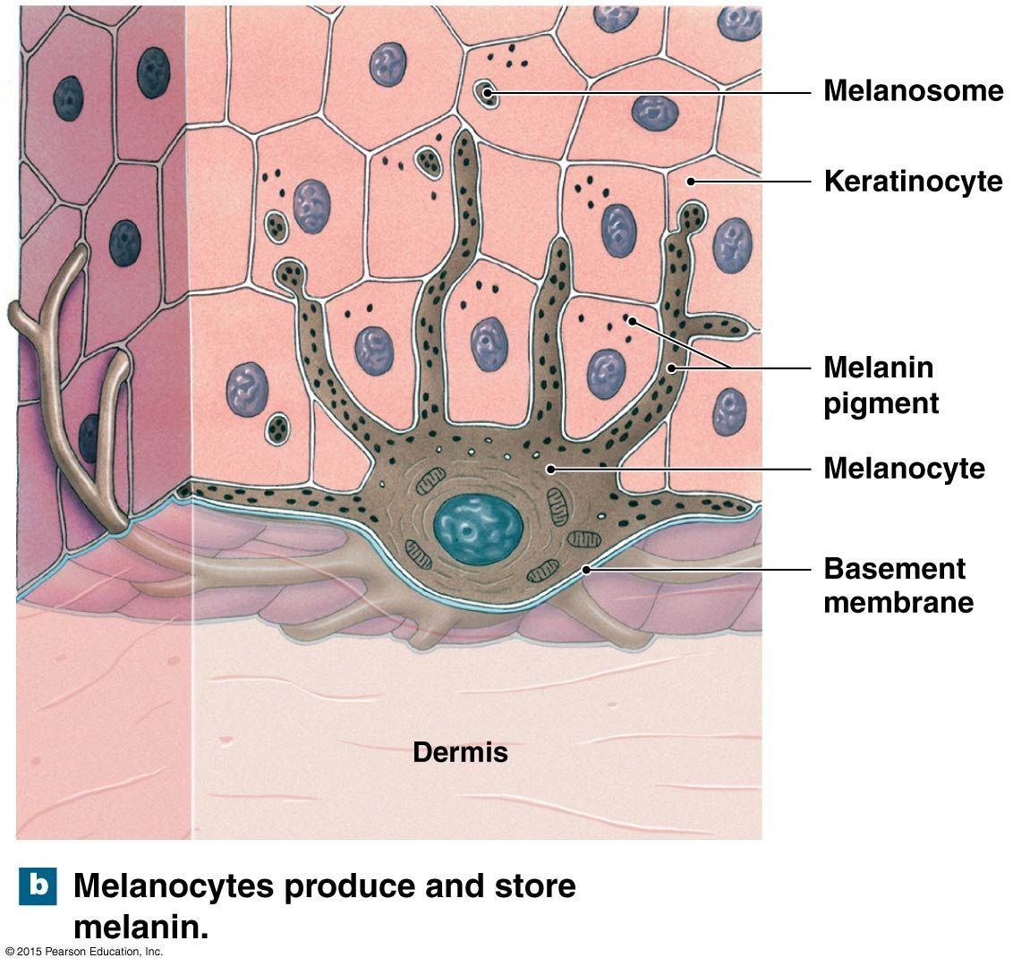 Melanocytes And Melanin