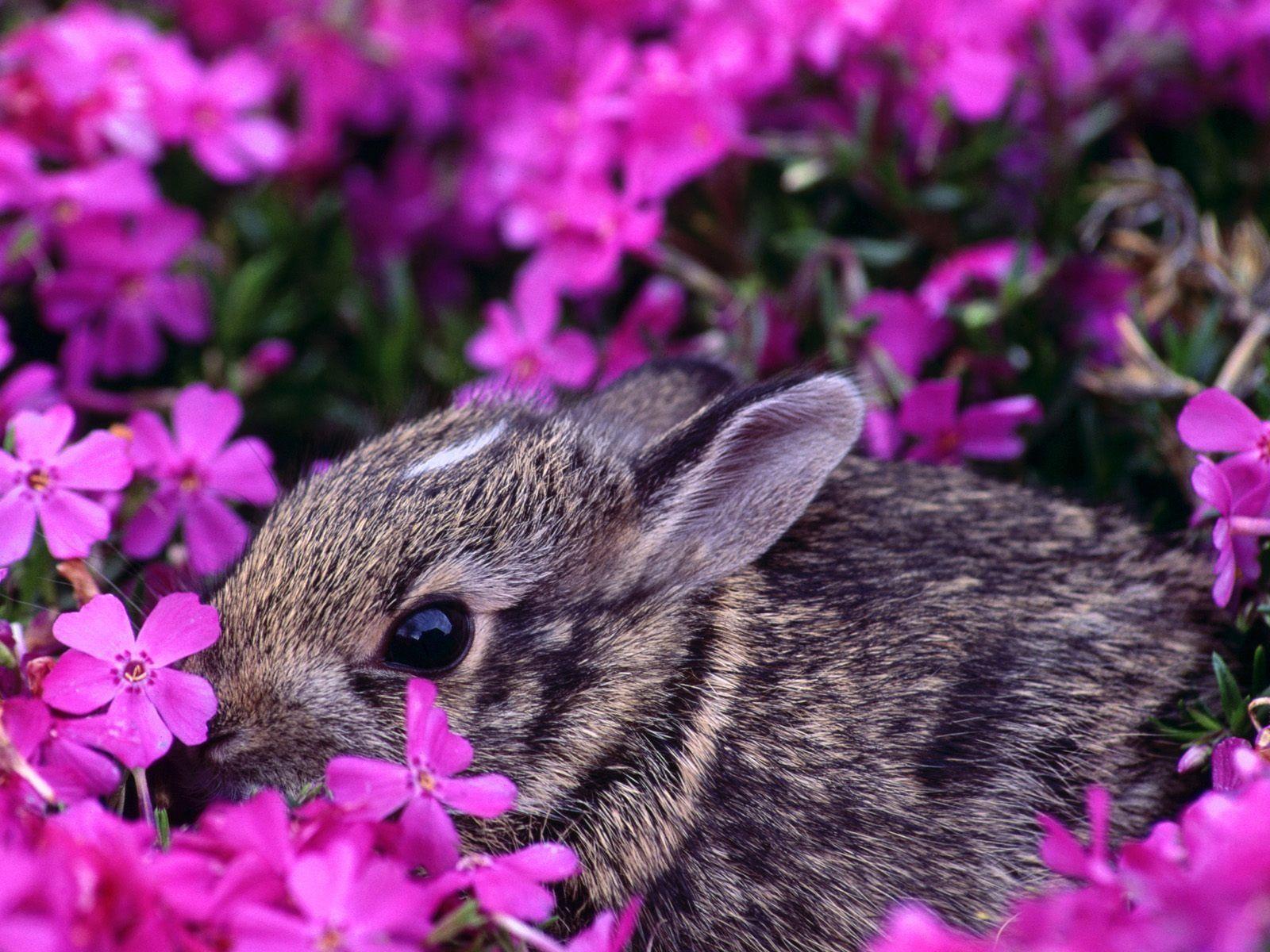 Rabbit Wallpaper Free Wildlife Animals Computer Desktop