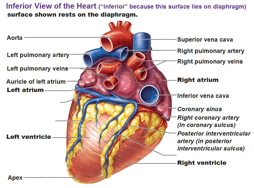 inferior view of the heart | Paramedic Study Guide | Pinterest ...