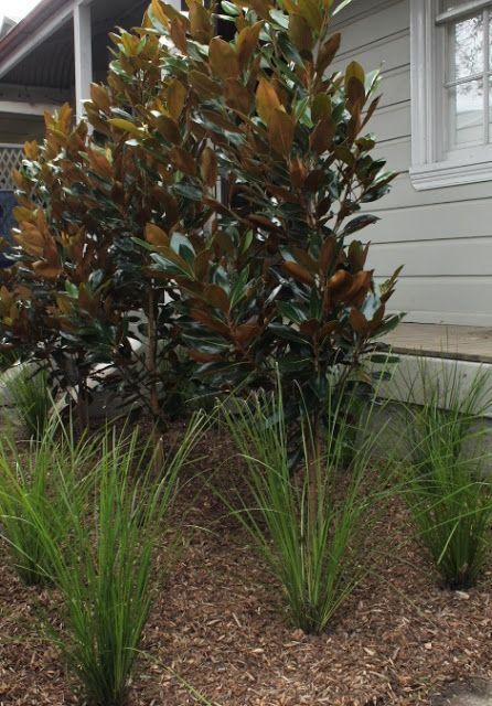 Magnolia Grandiflora Var Little Gem Underplanted With Lomandra