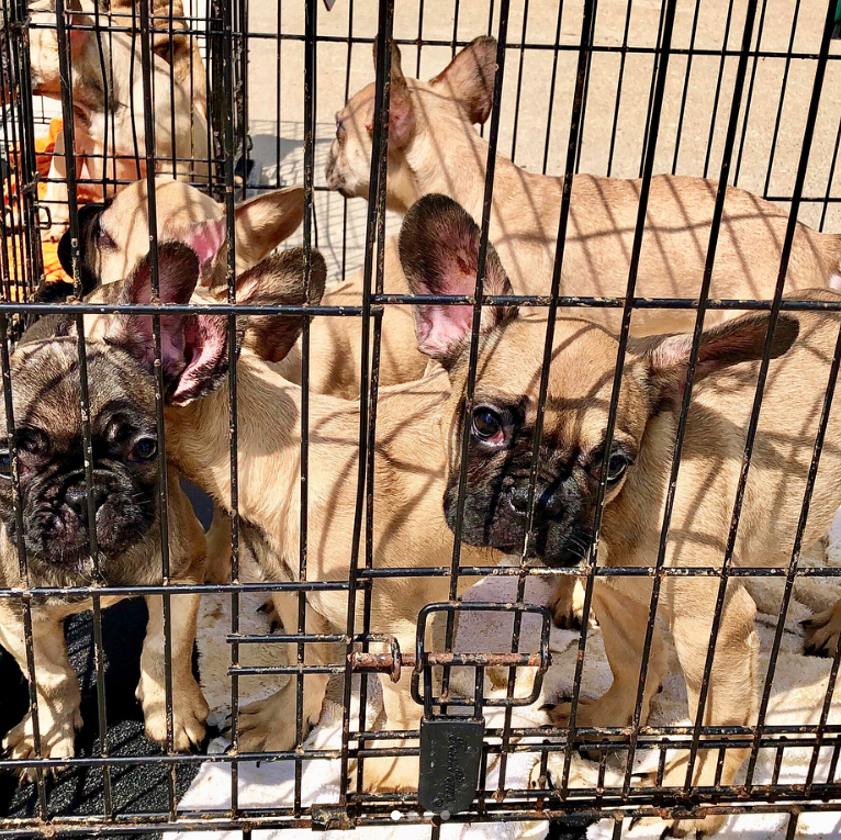 23 French Bulldog Puppies Rescued From 120º Truck In Texas With