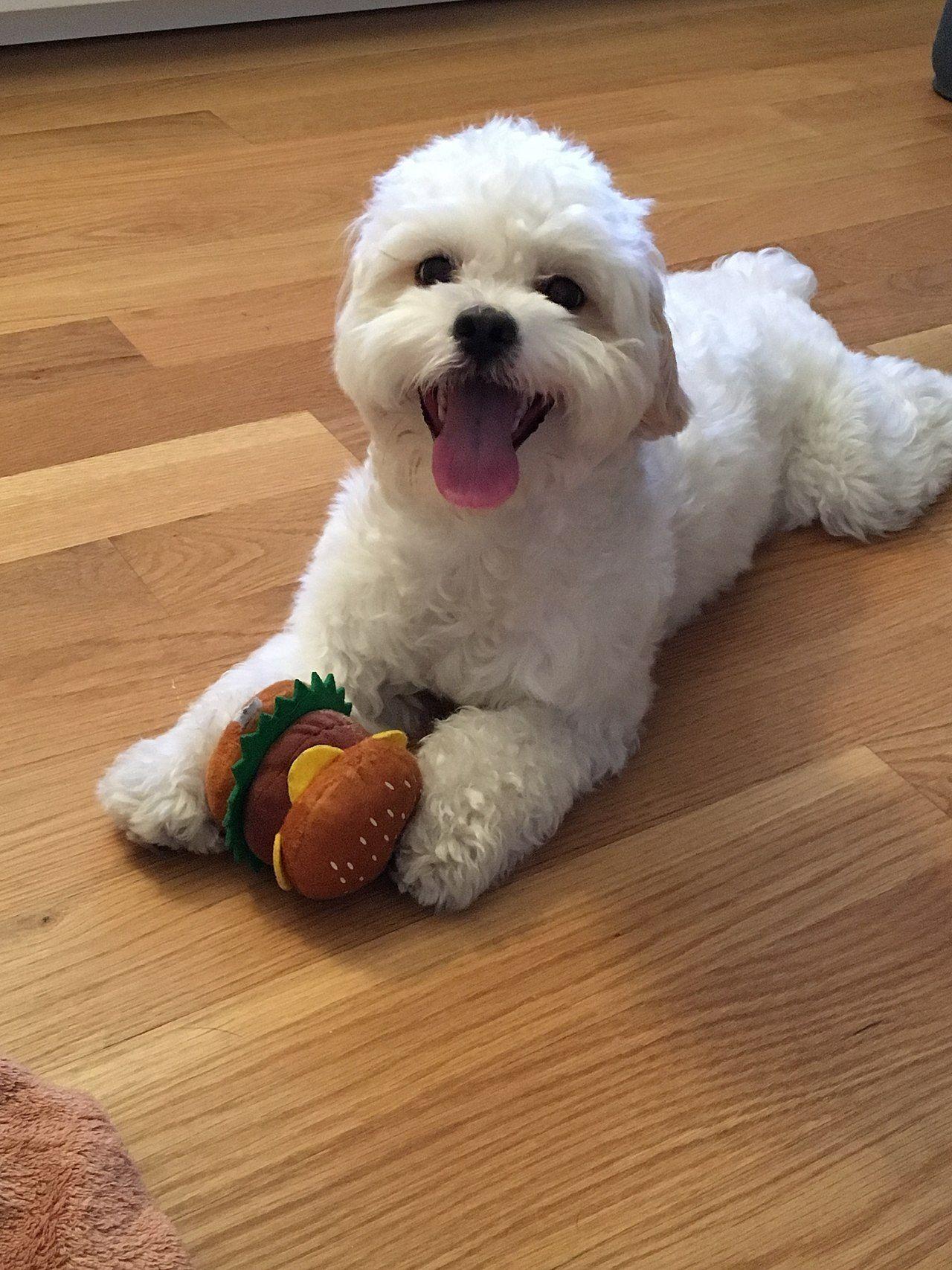 Shih Poo Wikipedia Shih Poo Shih Tzu Shih Tzu Puppy