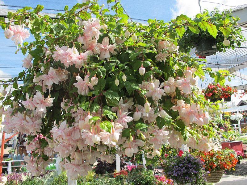 Overflowing Fuchsia Pink Marshmallow Fuchsia Garden Fuchsia Plant Flower Garden Design