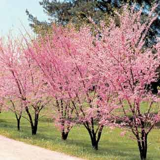 Multi Stemmed Red Bud Redbud Tree Lawn And Landscape Shade Trees