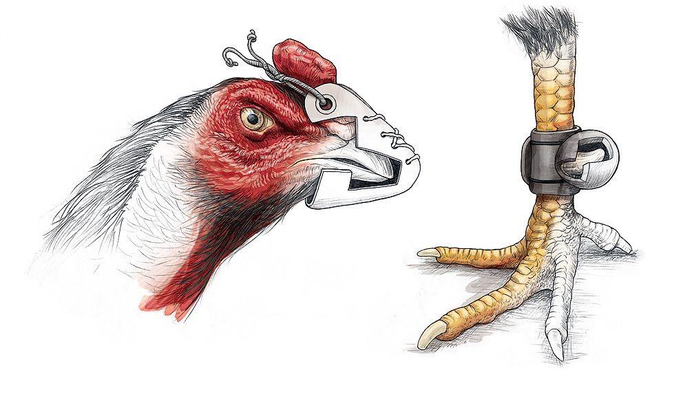 Ilustraciones para el gallo de riña. | ilustracion | Pinterest ...