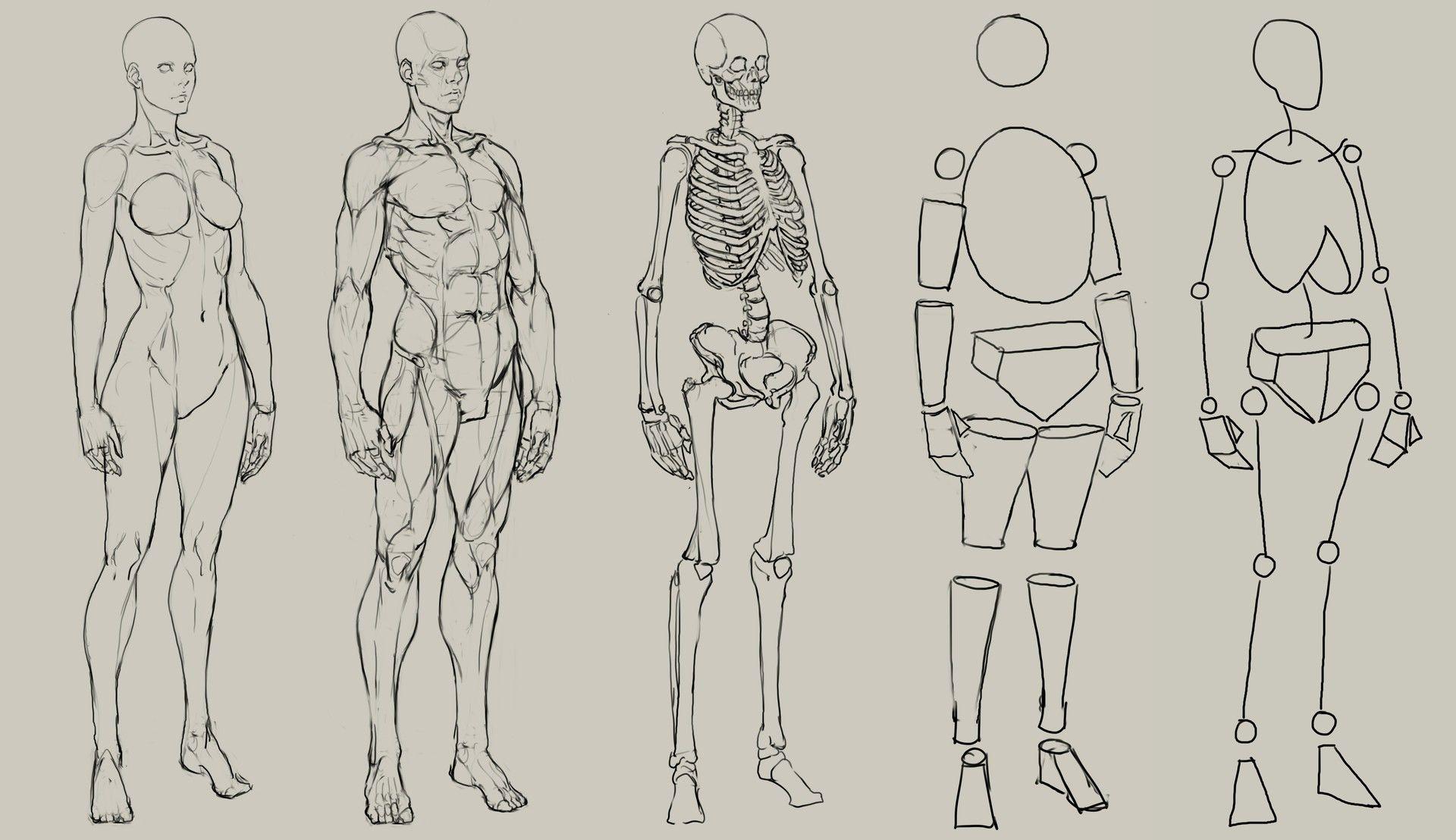 великие рисуем анатомия человека в картинках готовый