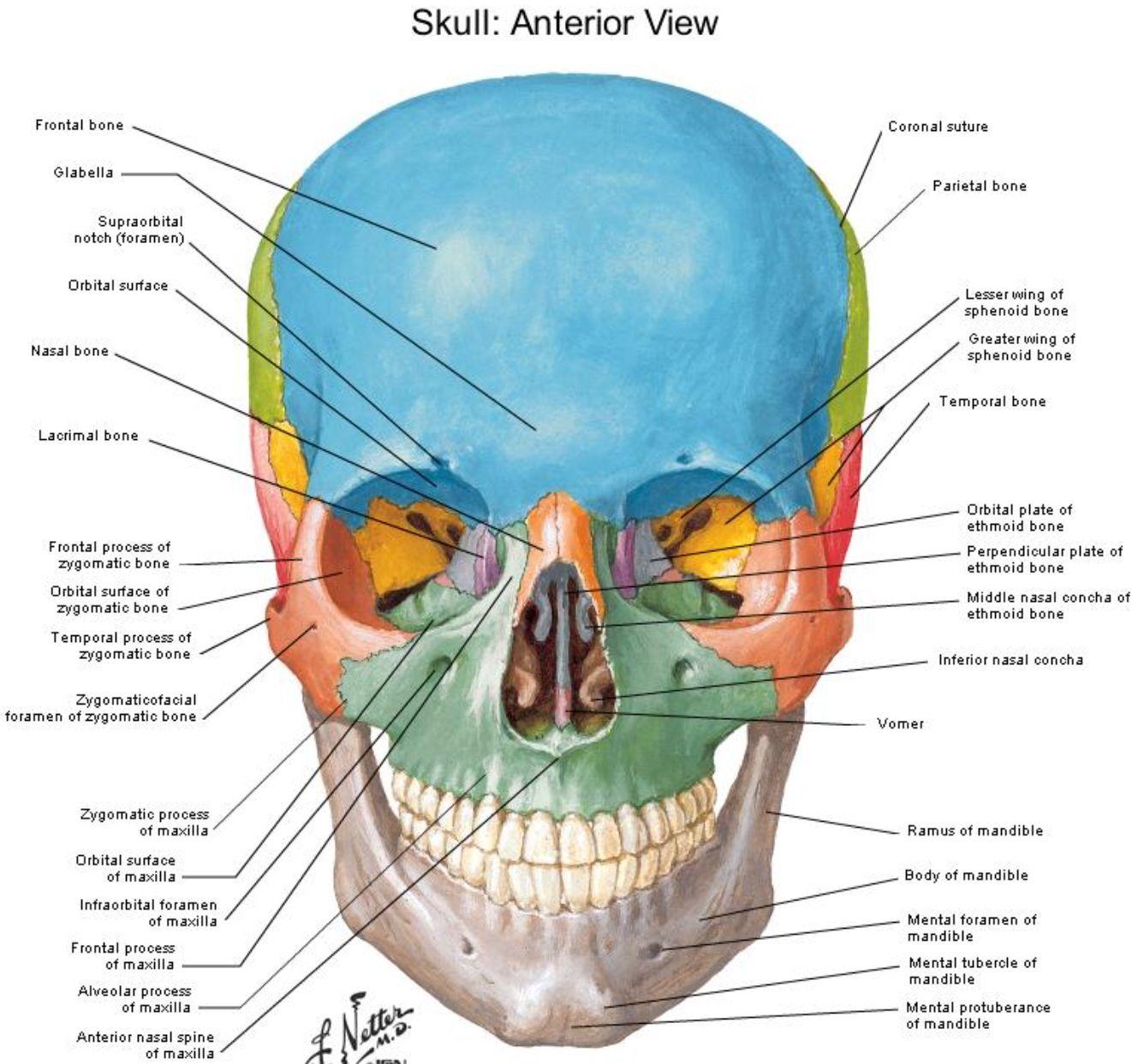 Anterior view Skull - Netter | Craniosacral therapy, Skull ...