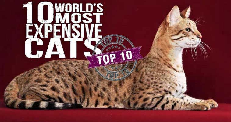 The 10 Most Expensive Cat Breeds in the World, Costing Up