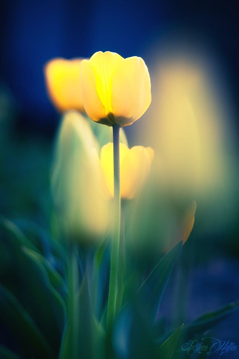 Little Lamps By Eileen Hafke 500px Flowers Mothers Day Flowers Flowers Photography