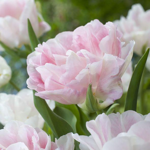 Tulipe 'Angélique' Bulbes de printemps, Fleurs et Tulipe
