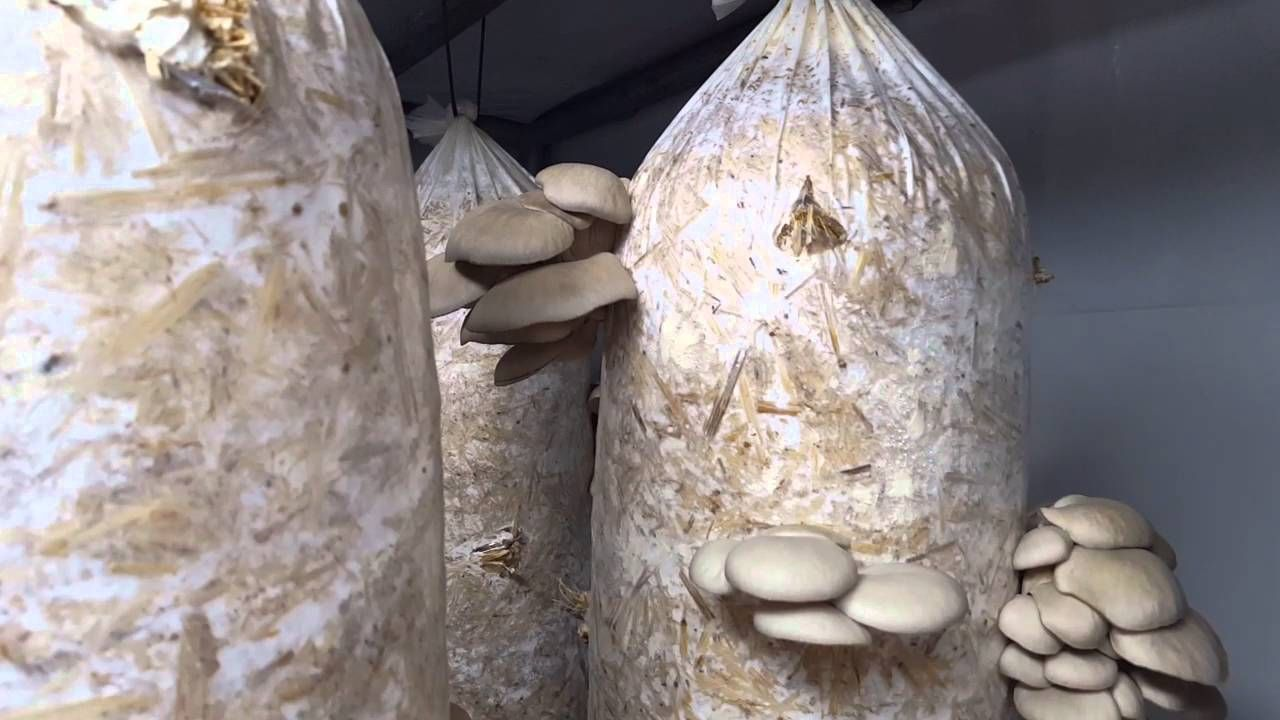 How to grow champignons at home Mushroom cultivation technology 64