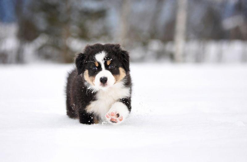 Australian Shepherd Puppy In The Snow Aussie Australian