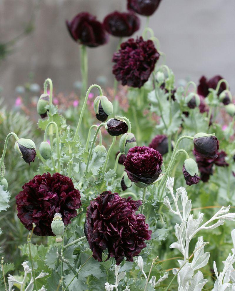 Schwarz peony mohnsamen wundersch n garden schwarze for Garten pflanzen blumen