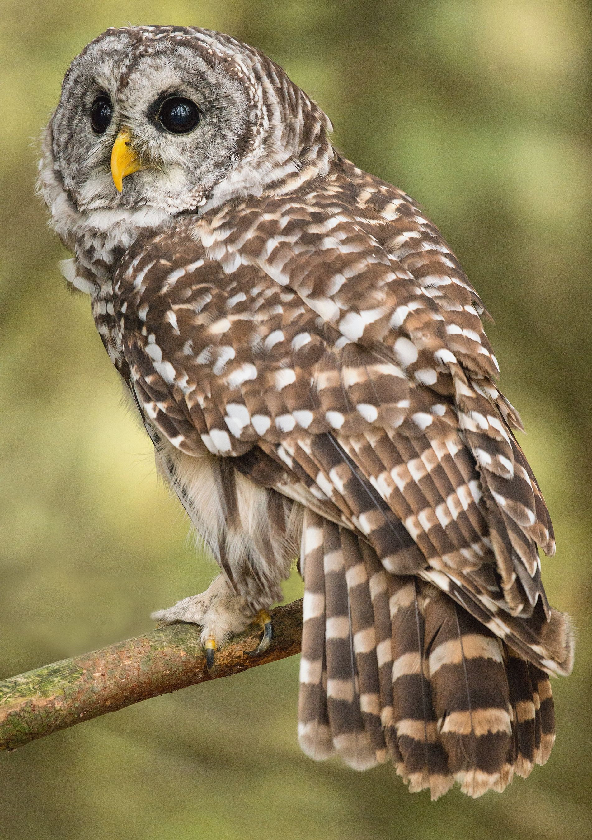 the barred owl analysis